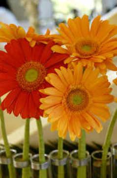 Gerber_daisies