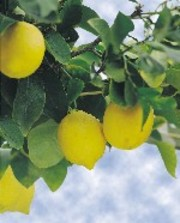 Lemon_branch_iiit_2